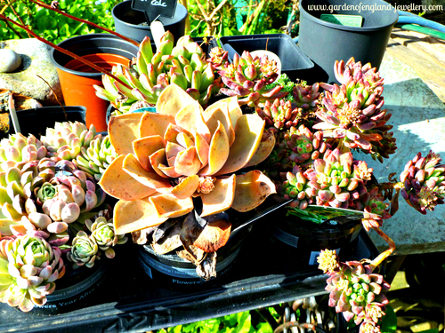 Succulents in the sunshine