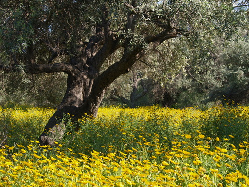 One of the ancient olive trees surround by a sea of spring wildflowers in the old olive grove in Ozankoy near Kyrenia, Cyprus