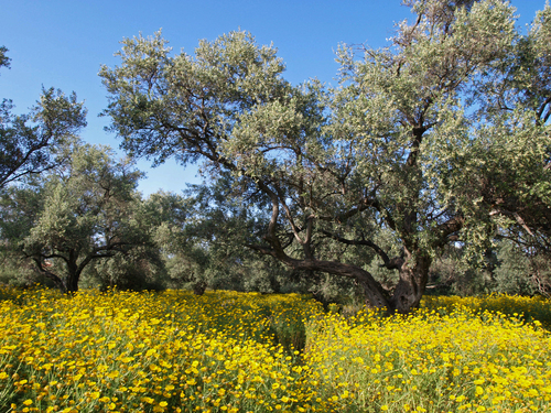 Spring wildflowers surround one of the many  olive trees in the old olive grove in Ozankoy near Kyrenia, Cyprus