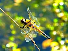 Mini_130603-214254-dragonfly_at_the_pond_gardenofenglandjewellery
