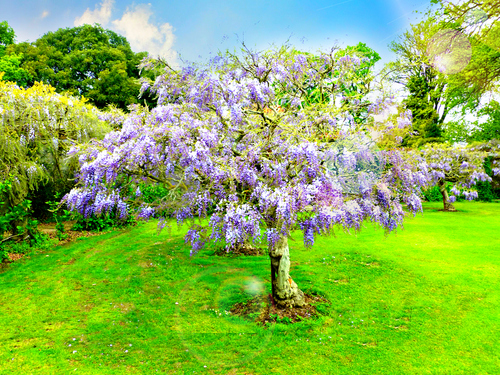 Blooming Wisteria Tree in Hole Park, Kent, United Kingdom