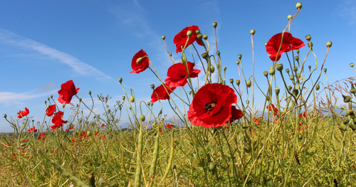 Drumrane Road, Limavady - the last of this summer's fragile wild poppies, growing between the rapeseed.