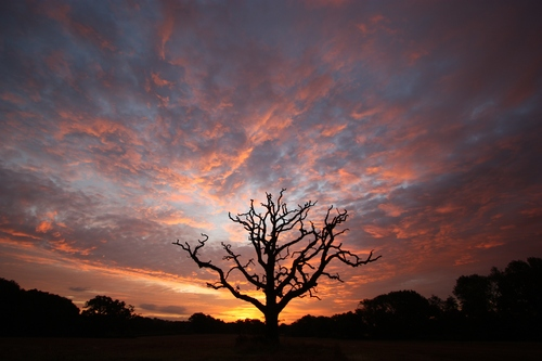 Lone tree in a field silhouetted against a colourful August sunrise in rural West Sussex