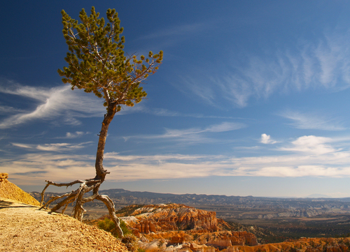 A lone pine tree clings on to the edge of the escarpment at Sunrise Point overlooking the main amphitheatre at Bryce Canyon National Park in south western Utah.