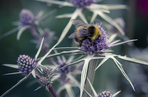 Bee in the thistles