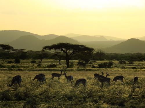 Grazing impala