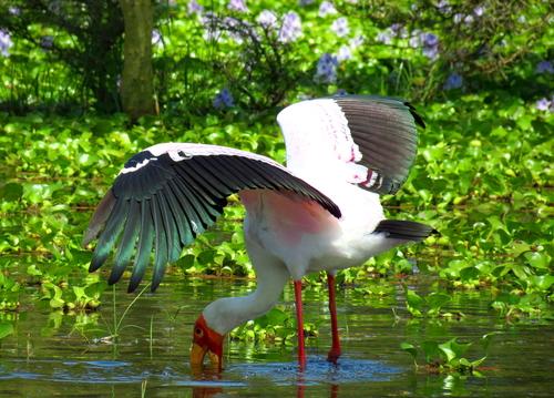 Stork at lake Naivasha