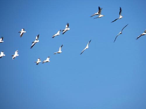 Flock of storks