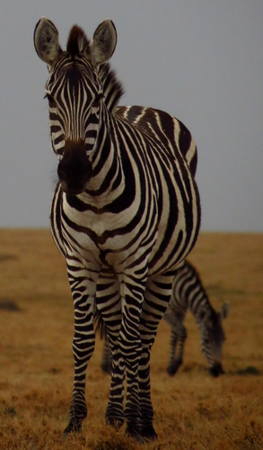 Being checked out by a zebra