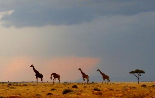Giraffes in Masai Mara region