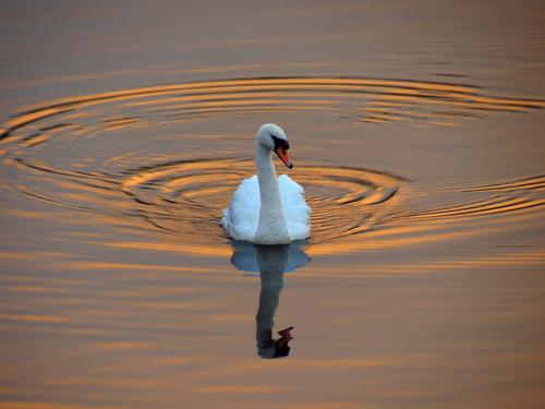 Swan cruising on the Liffey