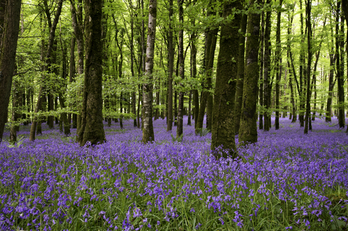 A carpet of bluebells in Dereen Wood