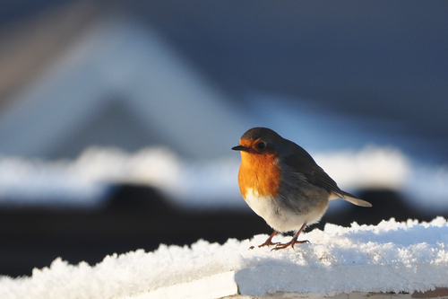Robin Sitting in the Snow