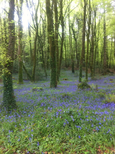 Bluebells in Woodpark, Mountshannon, Co. Clare