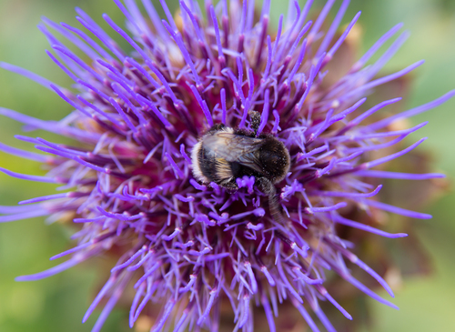 A honey bee on a Thistle