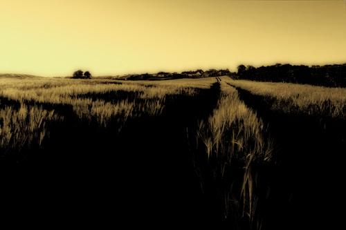 A wheatfield, near Ballynoe Stone Circle.