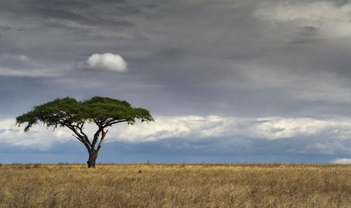 A lone tree on the Serengeti plains.
