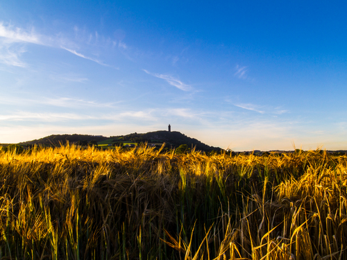 Scrabo Tower through the wheat