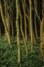 Mini_130917-193612-myrtletrees