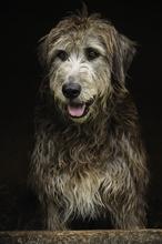 Mini_130917-195010-wolfhound