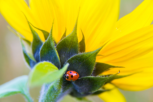 Ladybird on the sunflower field