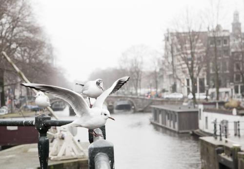 Active birds life in a amsterdam bridge in Amsterdam Center.