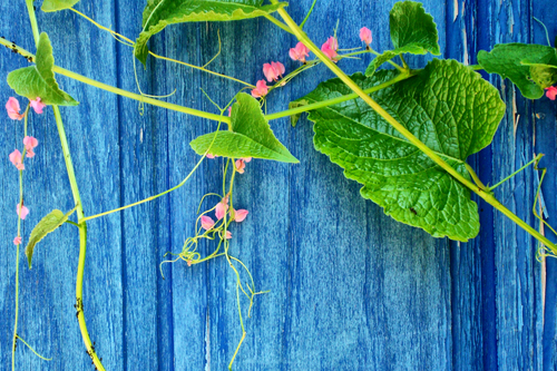 A blue rugged door with small pink flower coming down over it