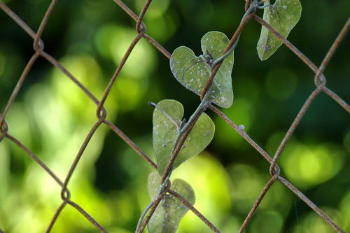 Wild plant growing up a rusty fence. Leaves looking like hearts on a string