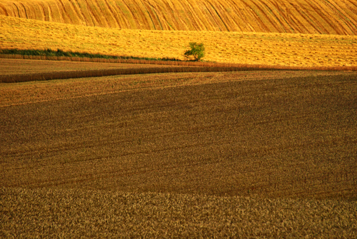 One green tree standing in the middle of dry yellow harvested fields