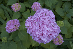 Some of the beautiful traditional old style flowers in Malahide Castle gardens in summer 2013.
