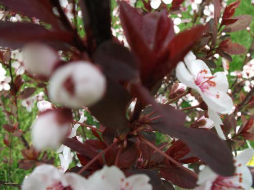 Close up of cherry bush makes a nice absract