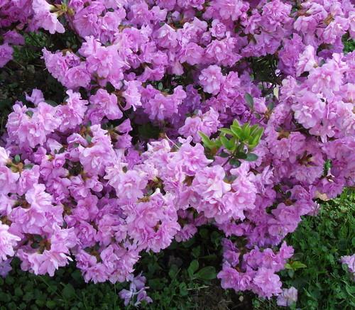 Beautiful azaleas photograph