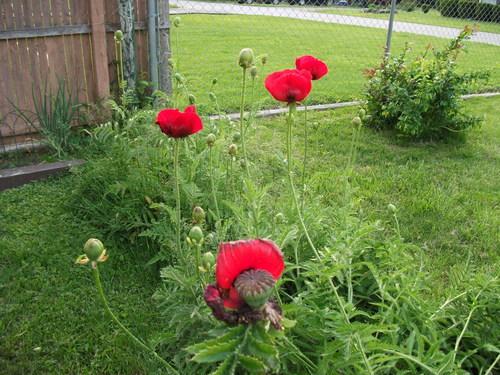 Red poppies bloom in the flower garden
