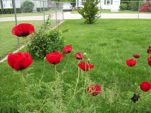 The red poppies are in full bloom