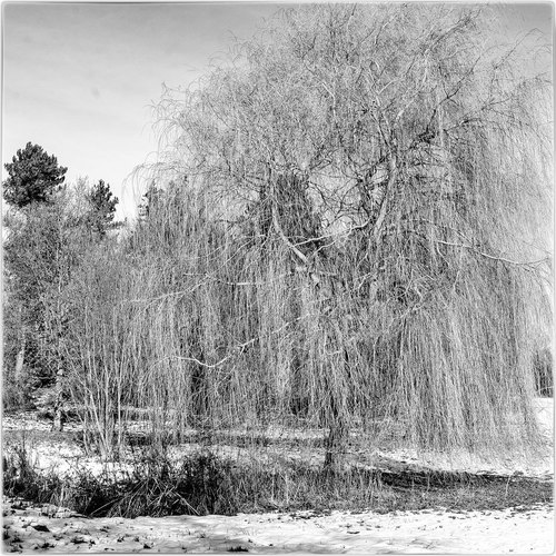 a willow in snow