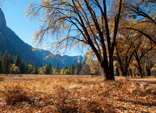 View across the meadows of Yosemite Valley through the black oaks in autumn colours on a clear November morning in Yosemite National Park, California.