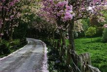 Mini_140201-152040-cherry_blossoms