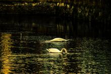 Mini_140201-153527-swan_s_in_canal