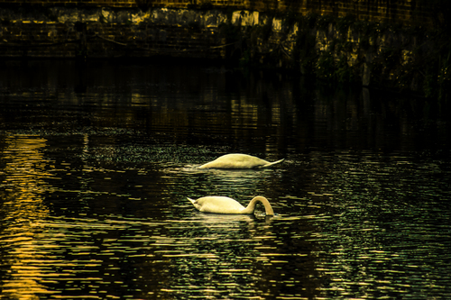 A pair of Swans in Chichester Canal