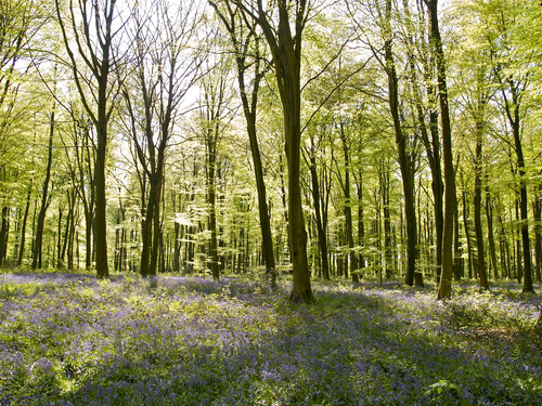 A backlit view in springtime of the beech trees and bluebells of Micheldever Wood near Winchester in Hampshire, England.
