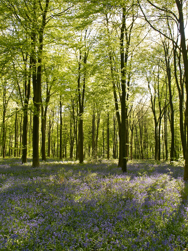 Springtime view of the beech trees with a carpet of bluebells in Micheldever Wood near Winchester in Hampshire, England.