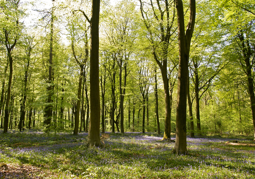 A springtime view of Micheldever Wood north of Winchester in Hampshire, England.