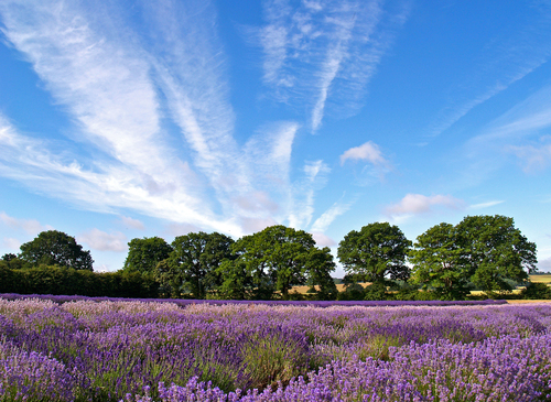 A field with various varieties of English lavender ripening in the summer sun near Selborne in Hampshire, England.