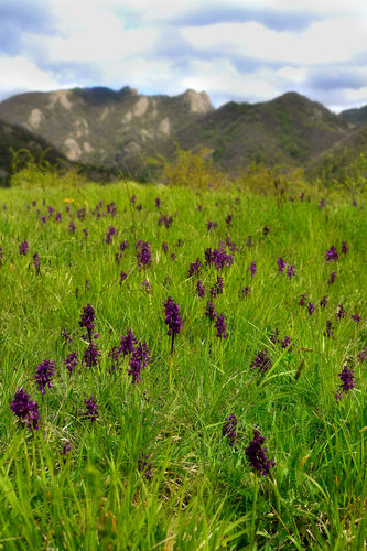 Wild Orchids in a meadow near Bastia, Busalla (GE).