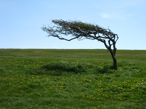 A tree shaped by the wind on top of Beachy Head