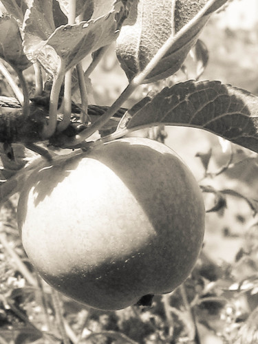 An apple growing on a tree in a garden