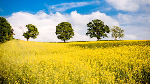 Rapeseed Field captured in Hillsborough Co.Down