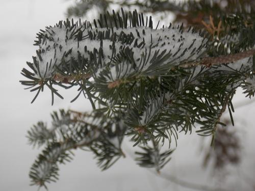 Pine tree & snow