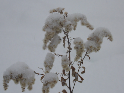 Meadow plant clad with snow