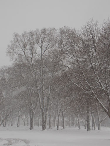 Trees, snow & Wind - Minnesota in a Spring snow storm